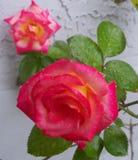 Arrossisce e Dick Clark Roses colorato rosa fotografia stock