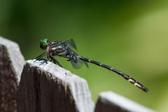 Arrow Clubtail Dragonfly. On a fence stock photography