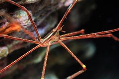Arrow crab Royalty Free Stock Photos