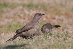 Arrow-marked Babbler. Adult arrow marked babbler foraging on the ground Royalty Free Stock Photography