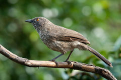 Arrow marked babbler adult jardineii turdoides. Arrow marked babbler adult breeding male stock photo
