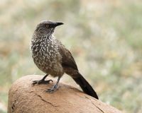 Arrow-marked Babbler. African Arrow-marked Babbler perched on a rock Stock Photos