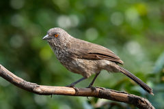 Arrow marked babbler bird jardineii turdoides. Adult arrow marked babbler, garden bird on perch stock image
