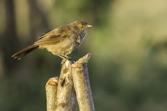 Arrow-marked Babbler Perched Stock Image