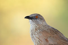 Arrow-marked babbler Royalty Free Stock Image