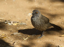 Arrow Marked Babbler showing super detail Royalty Free Stock Photography