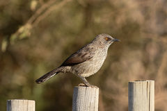 Arrow-marked babbler, Turdoides jardinei Stock Photo