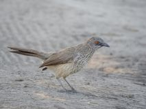 Arrow-marked babbler or Turdoides jardineii bird on sandy ground, Moremi National Park, Botswana, Southern Africa Royalty Free Stock Image