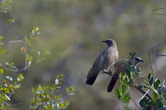 Arrow-marked babbler (Turdoides jardineii) Stock Images