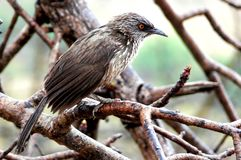 Arrow-marked babbler (Turdoides jardineii) Royalty Free Stock Photo
