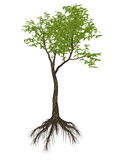 Arrow poison tree, acokanthera venenata - 3D Stock Images