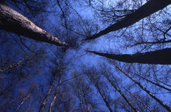 Arrow trees. A dramatic frame - many trees looking to the dark blue sky Stock Images