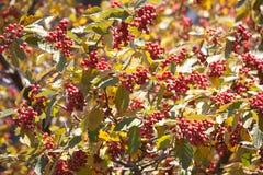 Arrow-wood raisin berries pattern Royalty Free Stock Image