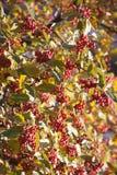 Arrow-wood raisin berries pattern Stock Images