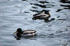Arrowhead Ducks stock photo