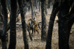 Arrowhead in jungle. Indian tigress ready to kill...she is forest queen Royalty Free Stock Photos