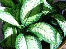 Arrowhead plant or diffenbachia maculata. Arrowhead green spotted plant or diffenbachia maculata picture background Stock Photos