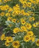 Arrowleaf Balsamroot blomningar Royaltyfri Bild