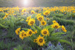 Arrowleaf Balsamroot Blooming Along Columbia River Gorge Stock Images