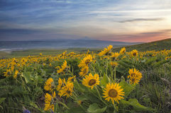 Arrowleaf Balsamroot at Columbia Hills State Park Stock Photos