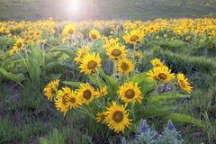 Arrowleaf Balsamroot fleurissant le long de la gorge du fleuve Columbia Images stock