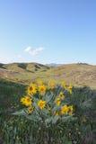 Arrowleaf Balsamroot flowers on Sage Hills Trail in Wenatchee Royalty Free Stock Image