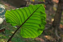 Arrowleaf elephant ear,tropical flowering plant Royalty Free Stock Images