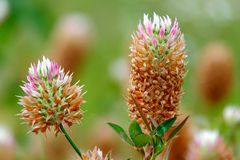 Arrowleaf växt av släktet Trifolium i fältet Arkivfoto