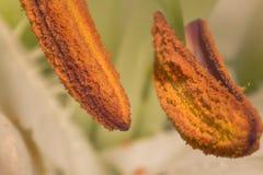 Arrows. Closeup shot of a big lily Stock Photo