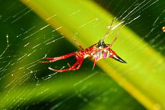 Arrowshaped Micrathena Spider Micrathena sagittata Royalty Free Stock Photography