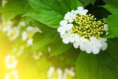 arrowwood ανθίζοντας λουλούδια Στοκ Φωτογραφίες