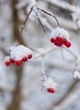 arrowwood χειμώνας Στοκ φωτογραφία με δικαίωμα ελεύθερης χρήσης
