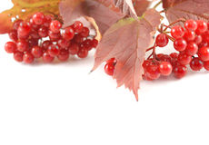 Arrowwood background. Thanksgiving background with arrowwood isolated on white royalty free stock photos