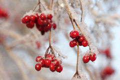 Arrowwood berries. On ice-covered branches Stock Photo