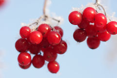 Arrowwood berries. On ice-covered branches Stock Photography