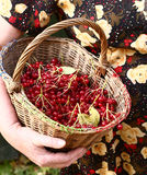 Arrowwood berries in the basket Royalty Free Stock Images