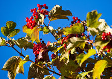 Arrowwood berries Royalty Free Stock Photo