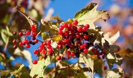 Arrowwood berries. Arrowwood red berries and tree branch on blue sky background Royalty Free Stock Photo