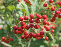 arrowwood berries in shiny weather Royalty Free Stock Photography
