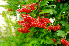 Arrowwood. A close-up of ripe arrowwood on a summer day Royalty Free Stock Photography