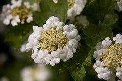 Arrowwood flower. In dark weather Stock Images