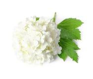 Arrowwood. Single flower of Arowwood isolated over white Royalty Free Stock Photo