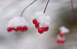 Arrowwood under snow. Branches of a arrowwood with berries under snow Stock Photos