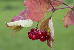 Arrowwood. Viburnum in the garden is not only beautiful but also useful, honey, medicinal and edible plant Royalty Free Stock Photos