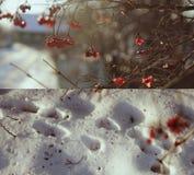 Arrowwood in winter. Red berries of arrowwood in winter light with steps on snow Stock Image