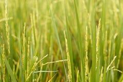 arroz Fotografia de Stock
