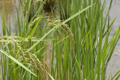 arroz Imagem de Stock Royalty Free