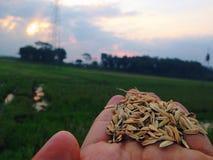 arroz Fotos de Stock Royalty Free