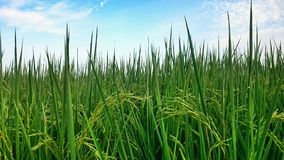 arroz Imagens de Stock Royalty Free
