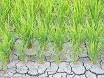 Arroz agrietado para la escasez de agua Fotografía de archivo libre de regalías
